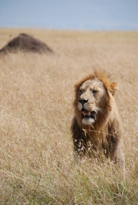 Witness of male Lion in the wild