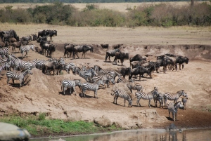Animal Migration by Mara River